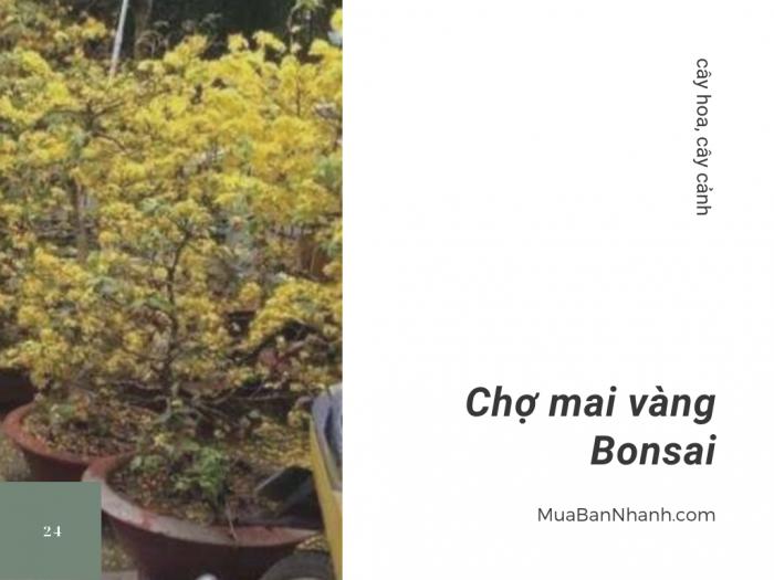 Chợ mai vàng bonsai - mua bán mai vàng cổ thụ, thu mua mai vàng bonsai, mai kiểng online trên MuaBanNhanh