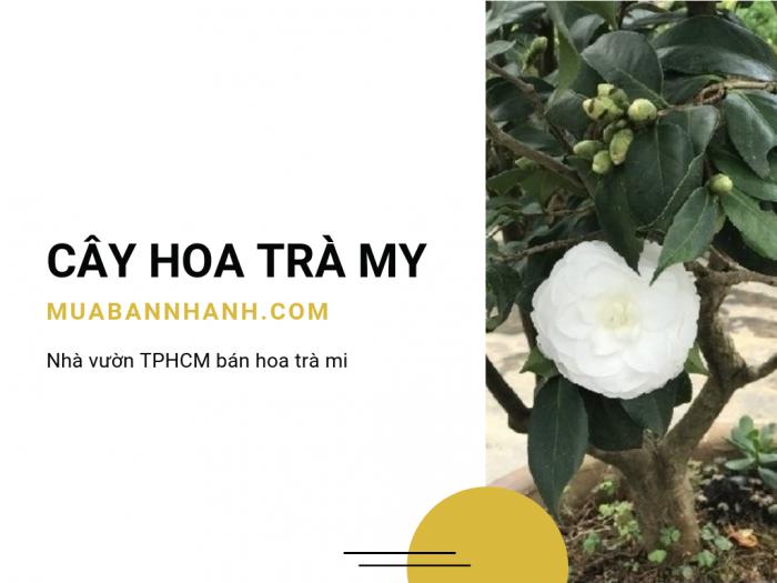 Giá bán cây hoa trà my - Mua hoa trà my ở đâu TPHCM, đến ngay chợ hoa cây cảnh online MuaBanNhanh
