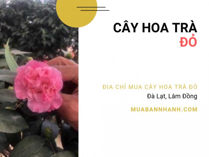 Giá bán cây hoa trà đỏ, địa chỉ mua cây hoa trà đỏ Đà Lạt, Lâm Đồng trên MuaBanNhanh
