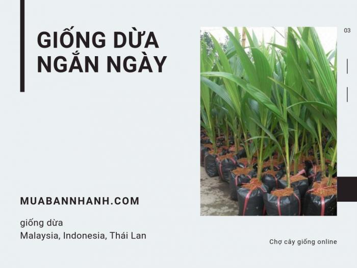 Mua bán giống dừa ngắn ngày: giống dừa Malaysia, Indonesia, Thái Lan