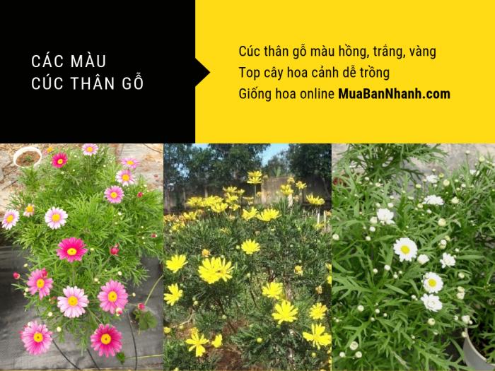 Cây cúc thân gỗ có mấy màu? Cúc thân gỗ màu hồng, trắng, vàng - Top cây hoa cảnh dễ trồng