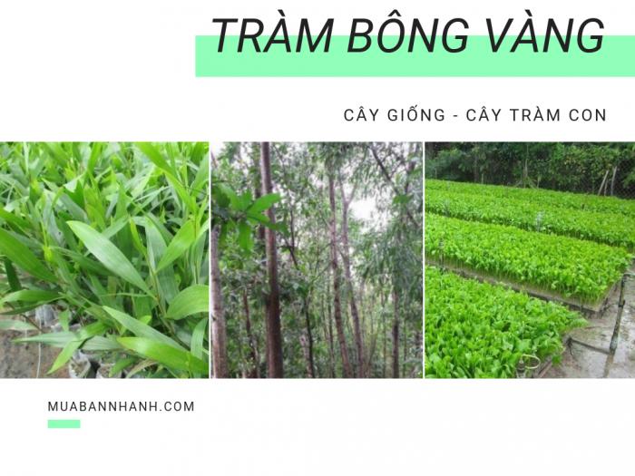 Mua bán cây giống tràm bông vàng - thu gỗ tràm bông vàng tiền tỷ trong 10 năm