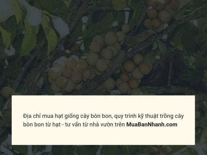 Địa chỉ mua hạt giống cây bòn bon - Quy trình kỹ thuật trồng cây bòn bon từ hạt