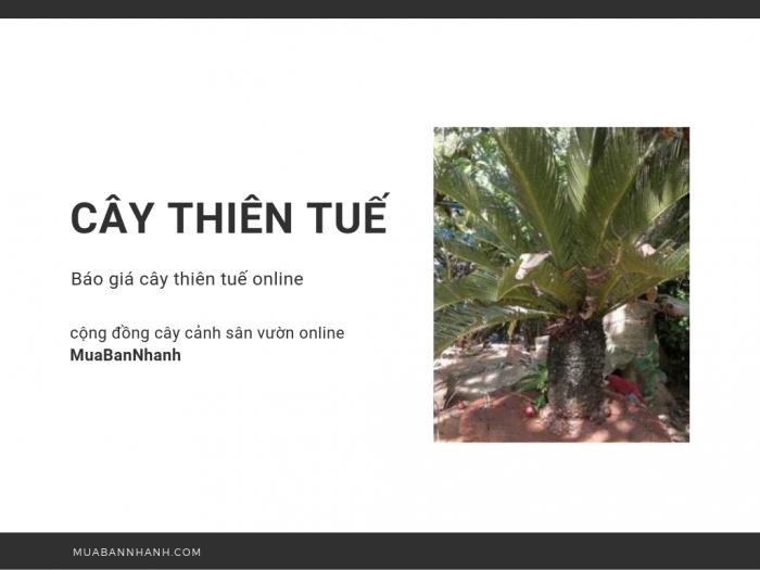 Cây thiên tuế giá bao nhiêu? Xem ngay báo giá cây thiên tuế lớn, nhỏ từ cộng đồng cây cảnh sân vườn online MuaBanNhanh