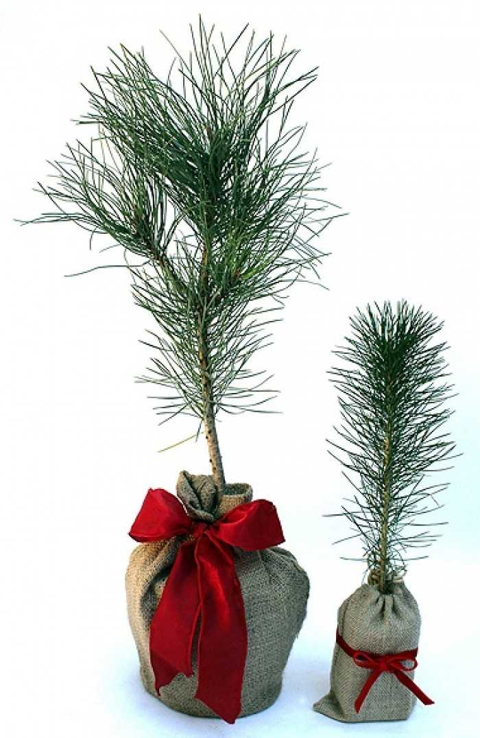 Cây thông Caribe Noel