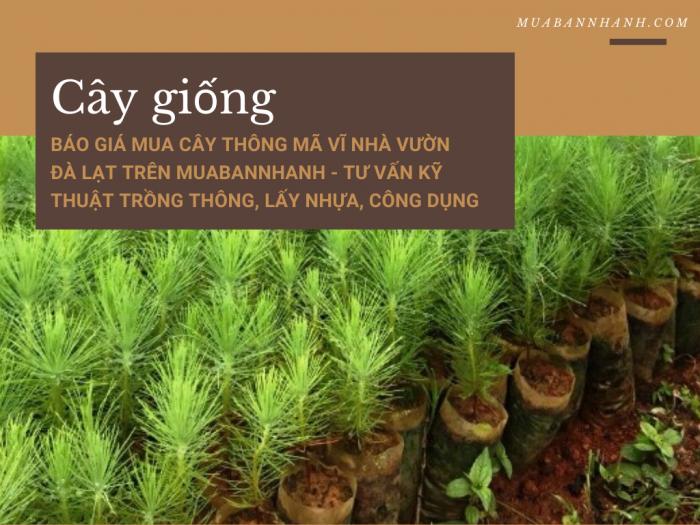 Báo giá mua cây thông Mã Vĩ nhà vườn Đà Lạt trên MuaBanNhanh - Tư vấn kỹ thuật trồng thông, lấy nhựa, công dụng