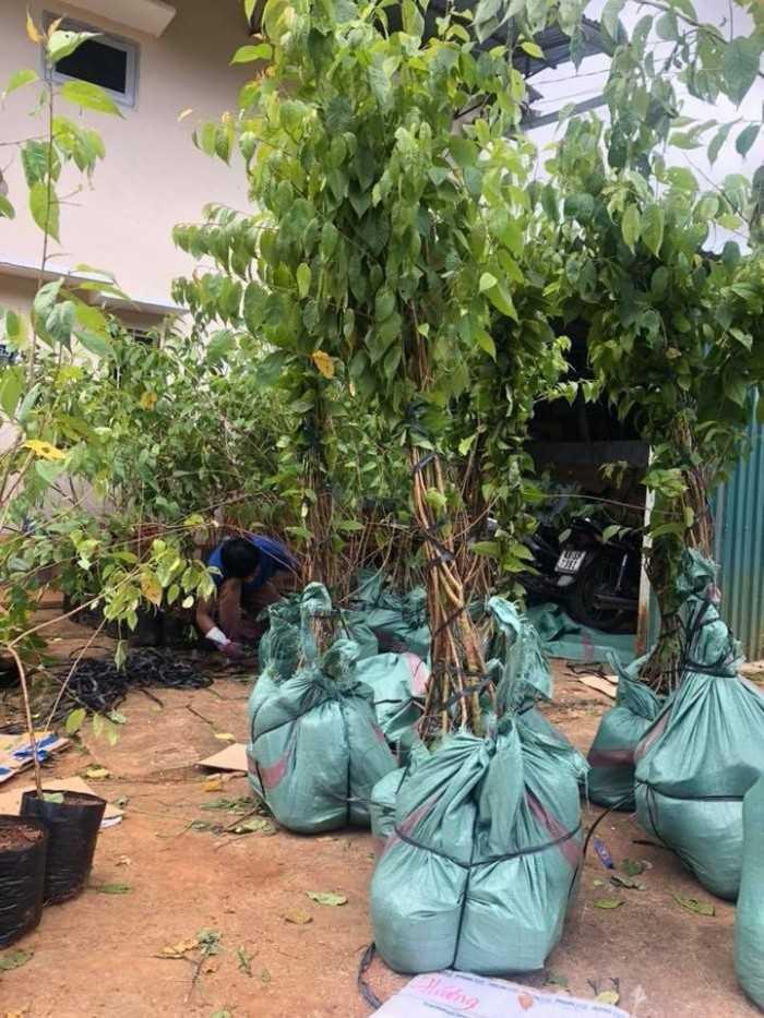 Cách đóng gói cây giống lớn hơn - MuaBanNhanh