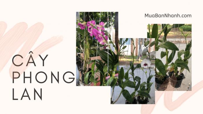 Làm giàu từ trồng hoa phong lan
