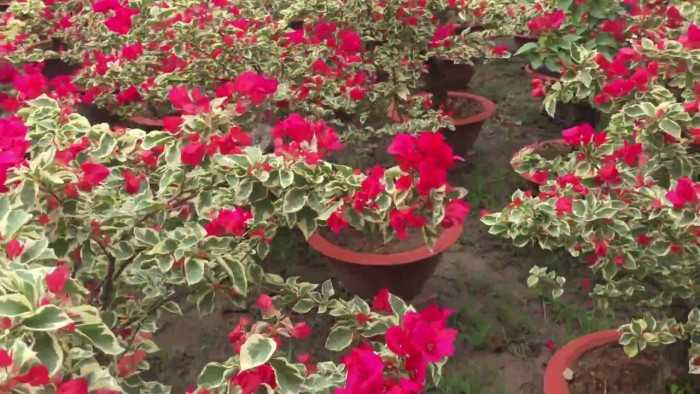 hoa giấy cẩm thạch đỏ
