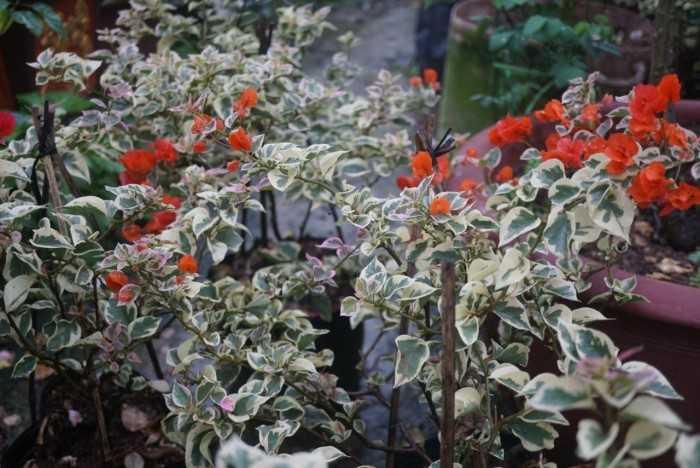 hoa giấy cẩm thạch cam