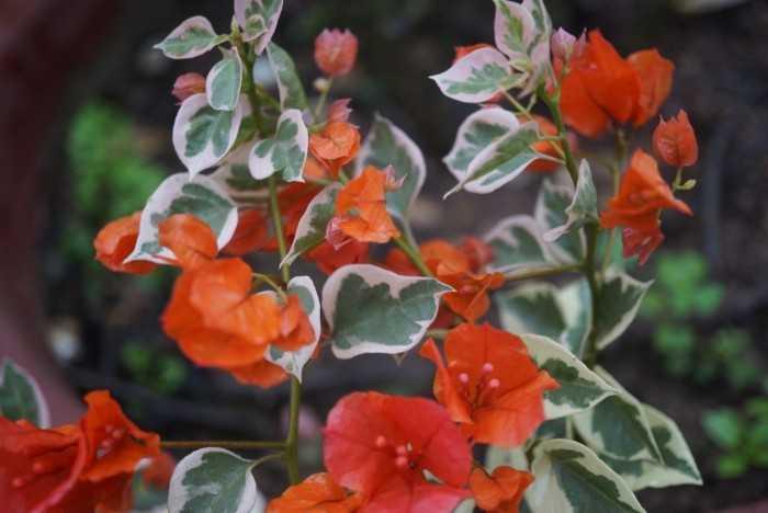 hoa giấy cẩm thạch