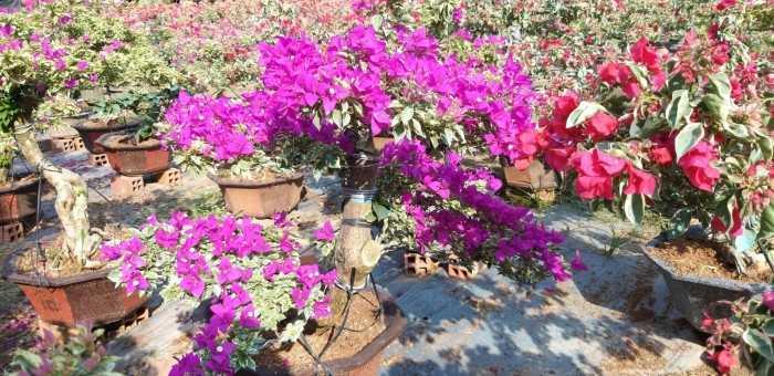 hoa giấy cẩm thạch bonsai