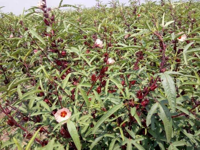 trồng hoa hibicus