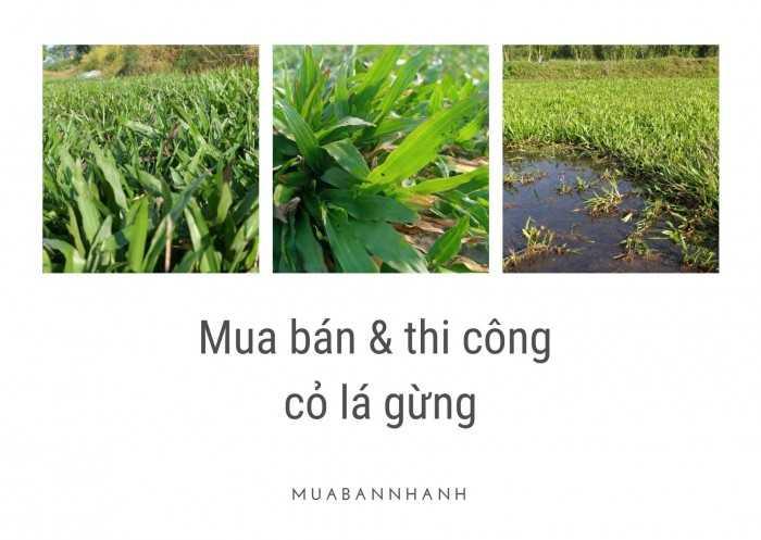 Cỏ lá gừng có mấy loại? Giống cỏ lá gừng Thái Lan, Việt Nam mua ở đâu tại TPHCM