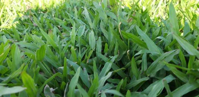 giá cỏ lá gừng