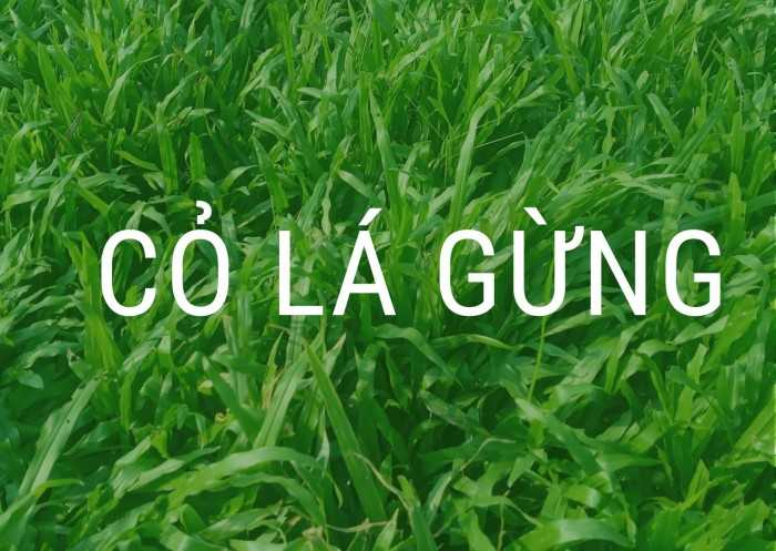 Giá cỏ lá gừng m2 bao nhiêu? Chi phí trồng cỏ lá gừng sân bóng đá cỏ tự nhiên