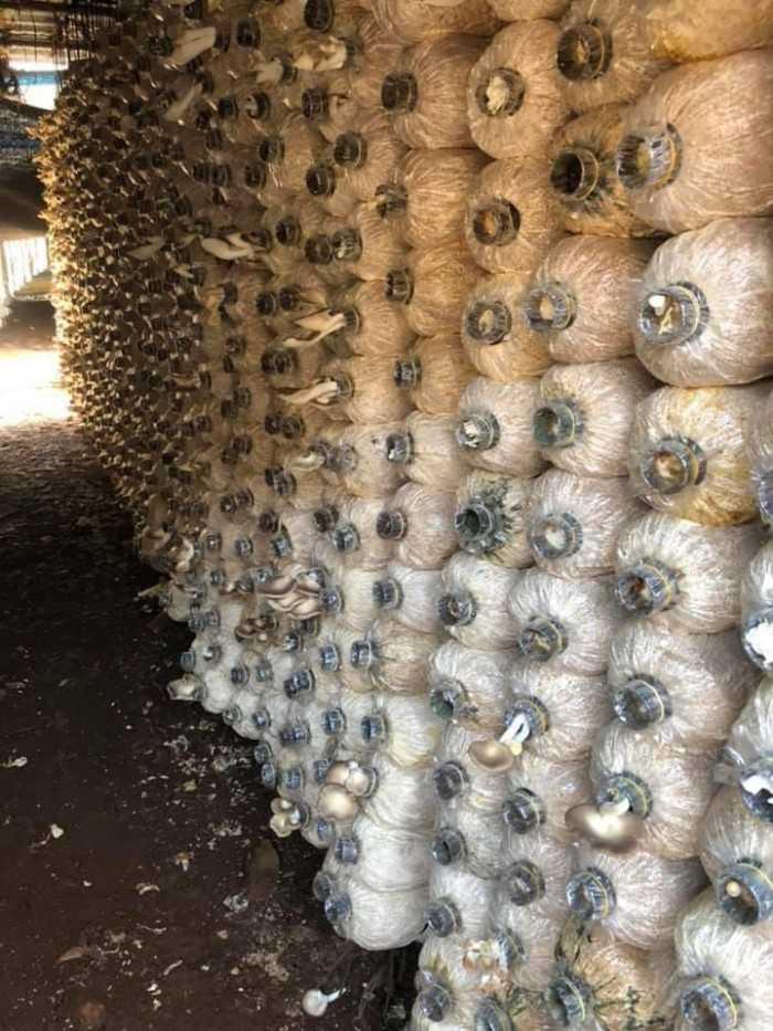 Cách trồng nấm bào ngư xám - MuaBanNhanh