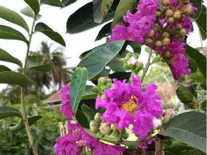 Giá mua bán cây bằng lăng tím cổ thụ tại Sài Gòn - Gốc cây bằng lăng lớn hỗ trợ giao miễn phí
