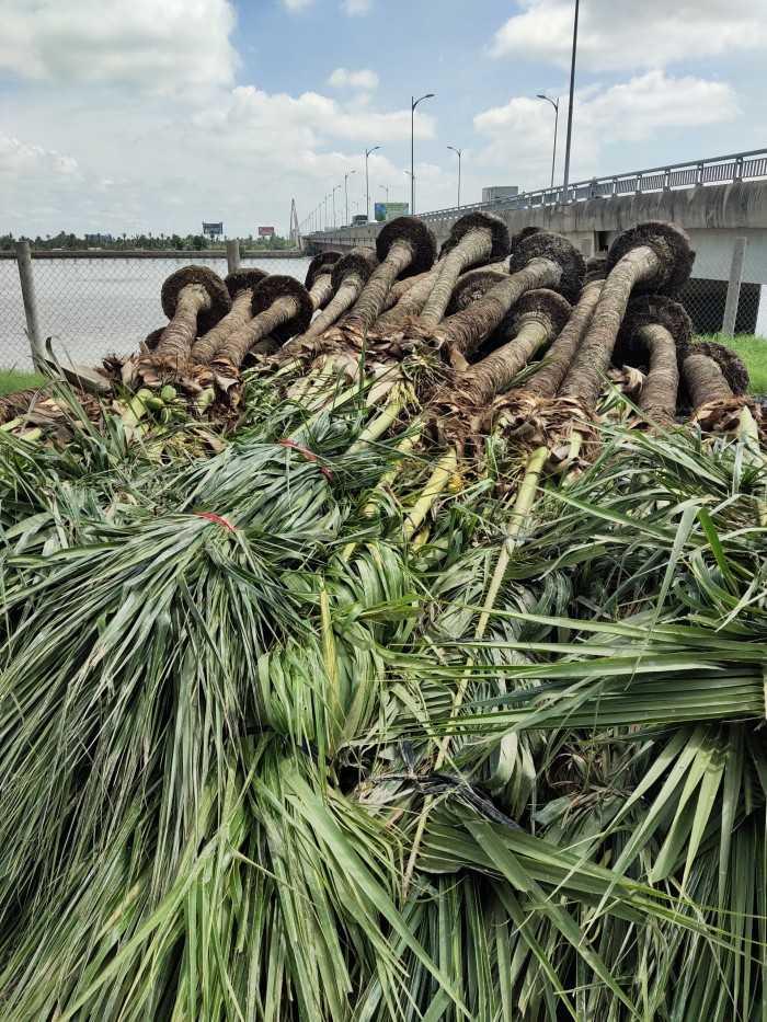Giá cây dừa cảnh phong thủy - MuaBanNhanh