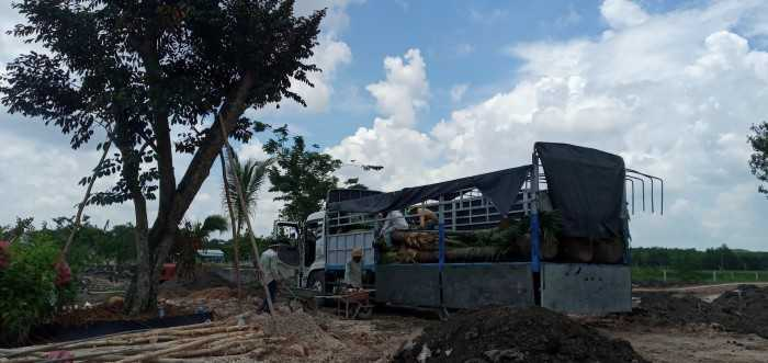 Trồng cây dừa làm cảnh - MuaBanNhanh