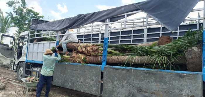 Cây dừa cảnh giá rẻ - MuaBanNhanh