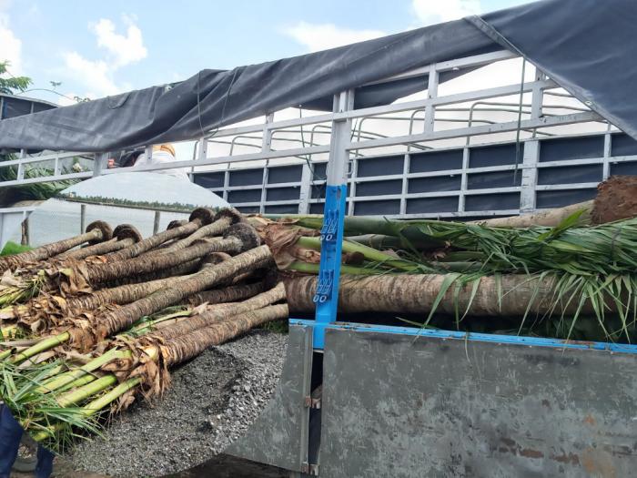Bán cây dừa cảnh - MuaBanNhanh