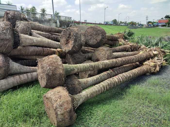 Cây dừa cảnh giá bao nhiêu tiền - MuaBanNhanh