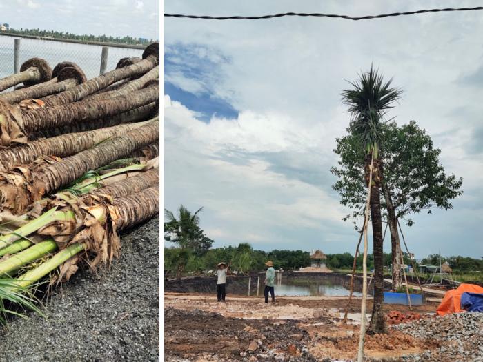 Cây dừa cảnh thân to - MuaBanNhanh