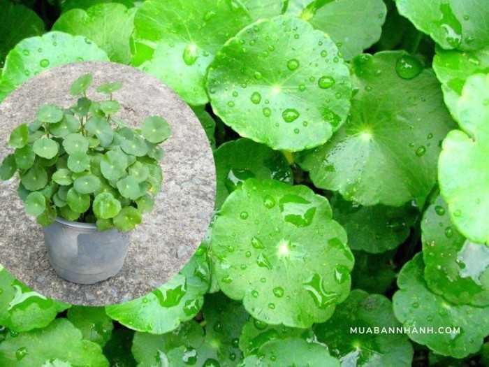 Những loại cỏ trồng chậu cảnh phủ khoảng trống Top dressing, giữ độ ẩm, tránh nắng, tăng dinh dưỡng đất