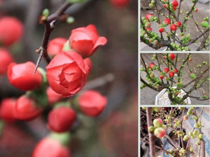 Nhà vườn cây hoa mai đỏ bonsai chưng Tết - Giá hoa mai đỏ lùn, bông đỏ sai hoa tạo dáng thế đẹp