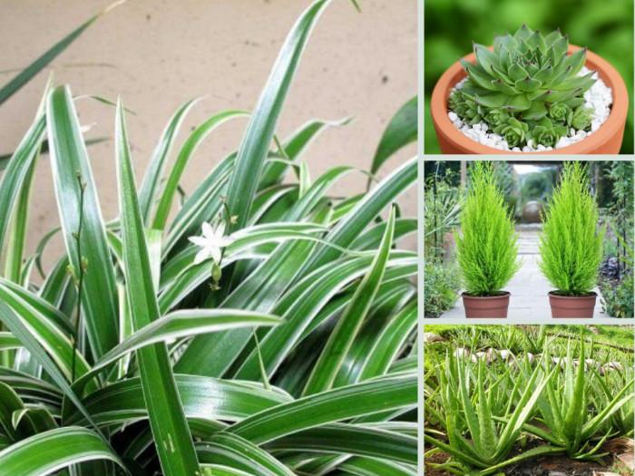 Top 10 loại cây trồng chậu giúp thanh lọc không khí nhà, văn phòng - Mua online trên MuaBanNhanh