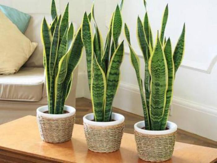 Cây thanh lọc không khí, cây thanh lọc không khí trong nhà, các loại cây thanh lọc không khí tốt nhất