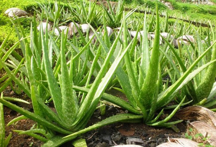 Top 10 loại cây trồng chậu giúp thanh lọc không khí