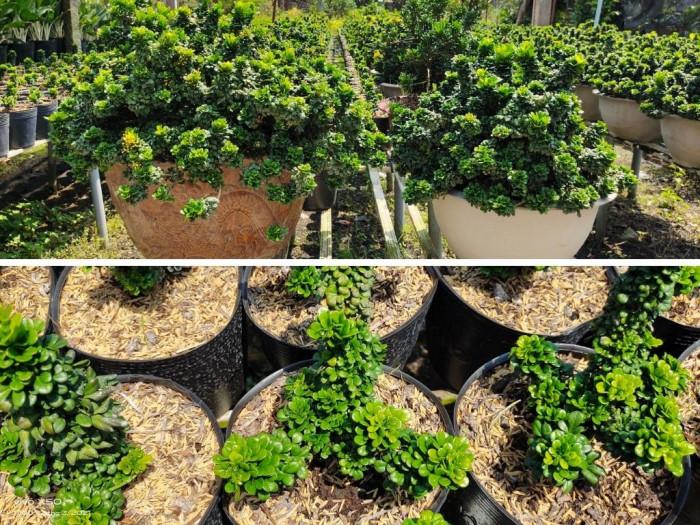 Cây ngâu đẹp, cây ngâu bonsai, cây ngâu cổ thụ mua ở đâu trên MuaBanNhanh