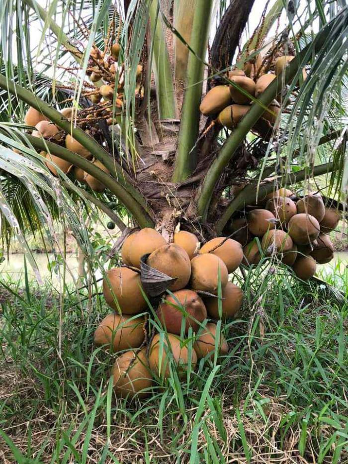 Các giống dừa ở Việt Nam, giống dừa cao sản, giống dừa nhanh ra trái, giống dừa mới nhất, giống dừa ngon nhất, giống dừa lùn cao sản, giống dừa mới cho năng suất cao trên MuaBanNhanh