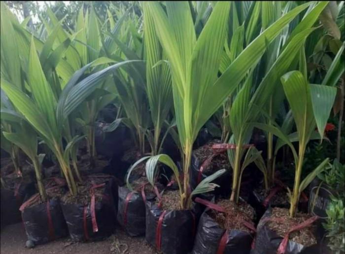 Giống dừa lấy dầu, giống dừa hiệu quả kinh tế cao, giống dừa mới năng suất cao, dừa giống bán ở đâu, các loại giống dừa, dừa giống giá, nên trồng giống dừa gì, giống dừa được ưa chuộng nhất hiện nay, giống dừa sai quả tại TPHCM