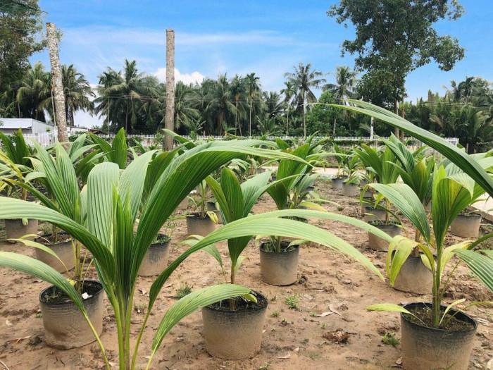 Các giống dừa ở Việt Nam, giống dừa cao sản, giống dừa nhanh ra trái, giống dừa mới nhất, giống dừa mới, giống dừa tốt nhất hiện nay