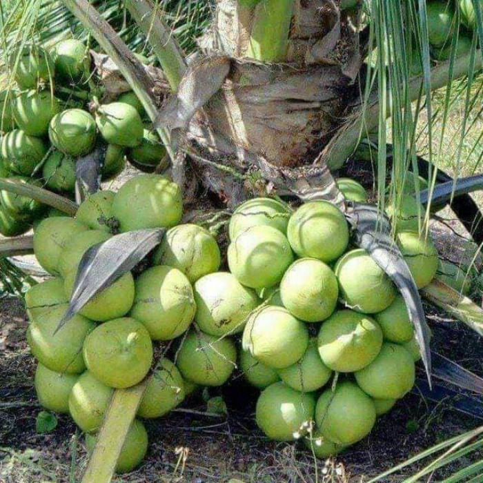 Các giống dừa mới nhất hiện nay, giống dừa siêu trái, giống dừa ngắn ngày