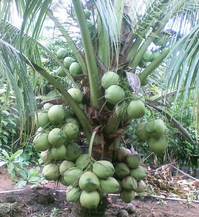 Dừa xiêm, giống dừa xiêm, dừa khô, giá giống dừa sáp, giống dừa hiệu quả kinh tế cao, giống dừa mới năng suất cao, các loại giống dừa, dừa giống giá, nên trồng giống dừa gì, giống dừa được ưa chuộng nhất hiện nay