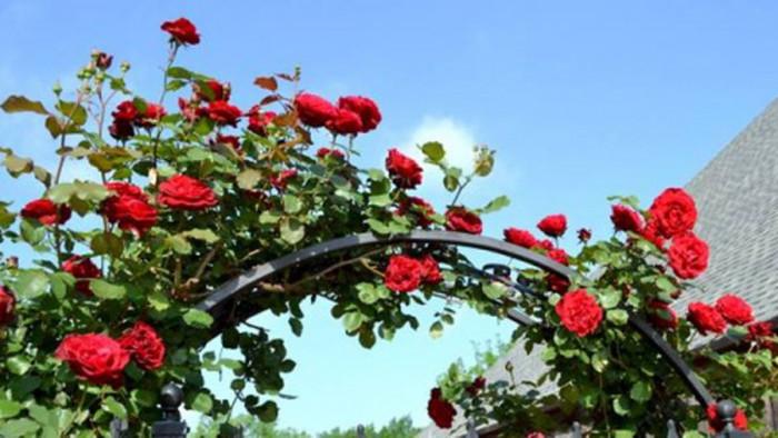 Cách chăm sóc hoa hồng đột biến Hải Phòng, cách giâm cành hồng có Hải Phòng