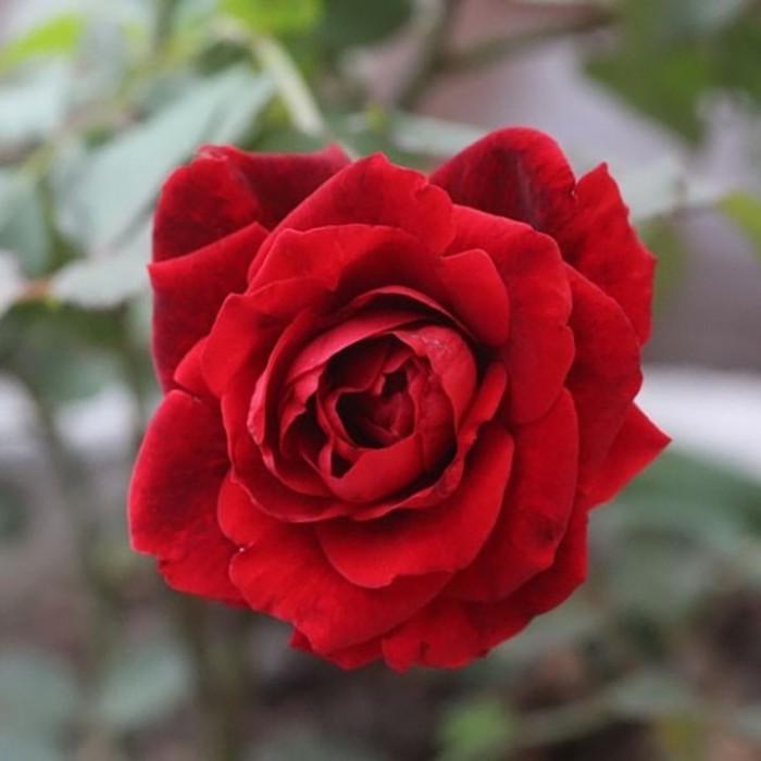 Tại sao hồng leo hải phòng không ra hoa