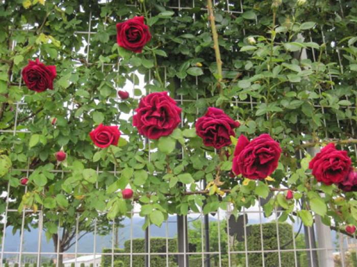 Cách làm giàn cho hồng có Hải Phòng