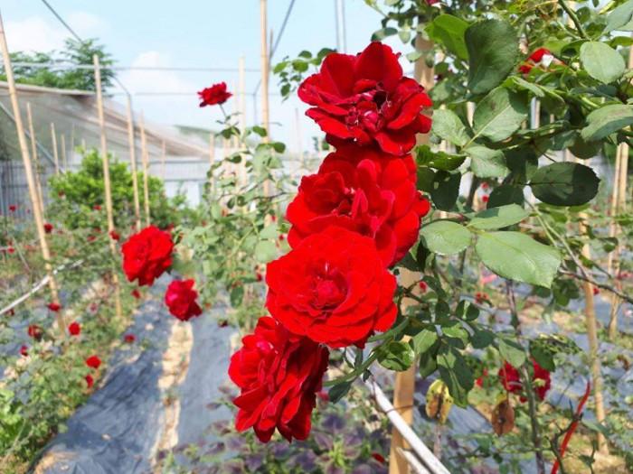 Nhà vườn bán gốc hồng cổ Hải Phòng