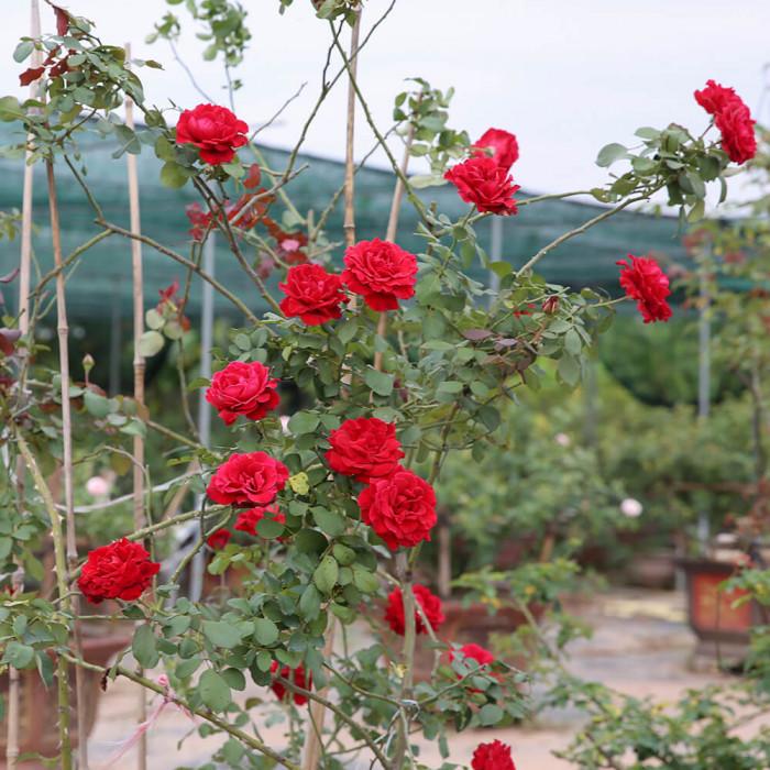 Mua hoa hồng ở Hải Phòng, mua hồng cổ Hải Phòng, giống hồng hải phòng, hình ảnh hoa hồng leo Hải Phòng