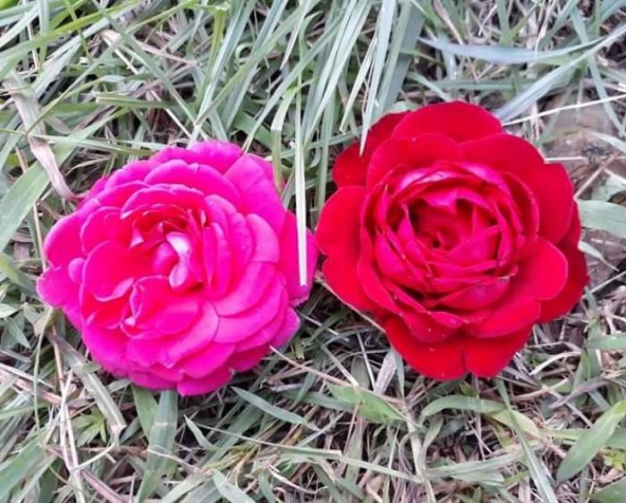 Hồng cổ Hải Phòng trồng chậu, hồng đỏ Hải Phòng, hồng Hải Phòng, hồng Hải Phòng đột biến, hồng leo cổ Hải Phòng có mấy màu