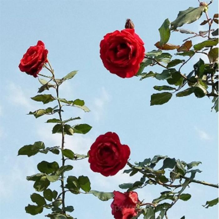 Hồng leo đỏ Hải Phòng, hồng leo Hải Phòng có thơm không, hồng leo Hải Phòng đột biến, khu vườn hồng Hải Phòng