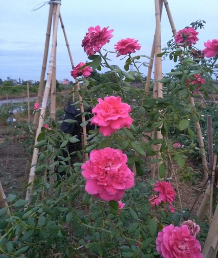 Vườn hoa hồng Hải Phòng, vườn hoa hồng ở Hải Phòng, vườn hồng Hải Phòng, vườn hồng ở Hải Phòng, hồng leo cổ Hải Phòng giá bao nhiều