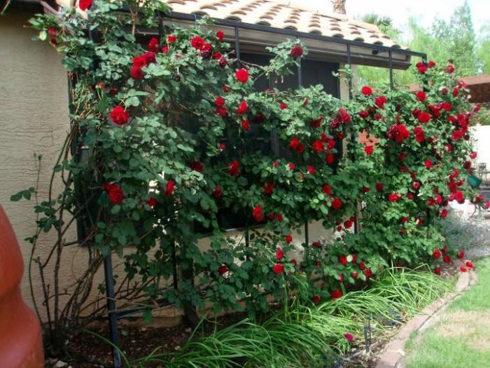Mua hoa hồng leo cổ Hải Phòng ở đâu?