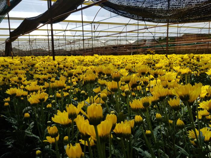 Winsy Farm Hoa Đà Lạt Giá Sỉ Tại Vườn