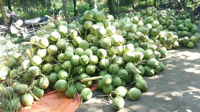Vựa dừa Tiền Giang - dừa tươi giá sỉ từ chợ đầu mối bán dừa tươi trên MuaBanNhanh - Ảnh: 2